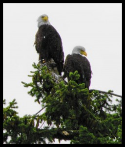 These two bald eagles were regular visitors to Surfside RV Resort on Vancouver Island, British Columbia, Canada.