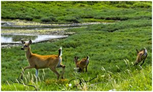 I photographed this doe and fawns at Englishman River Estuary and Wildlife Preserve in Parksville, Britist Columbia, Canada.