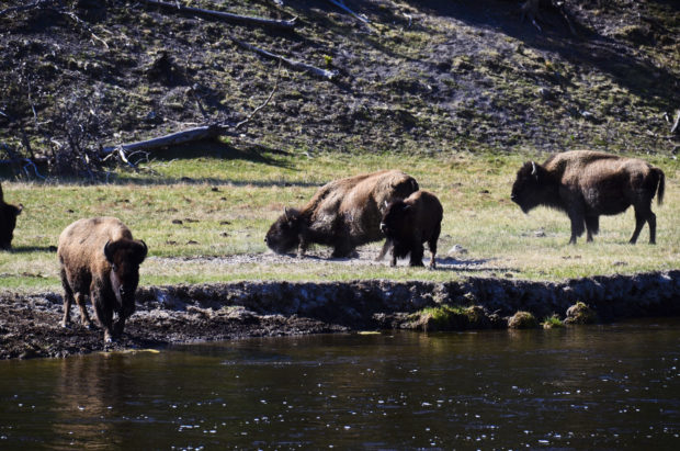 Herds of free-roaming bison are common at Yellowstone.