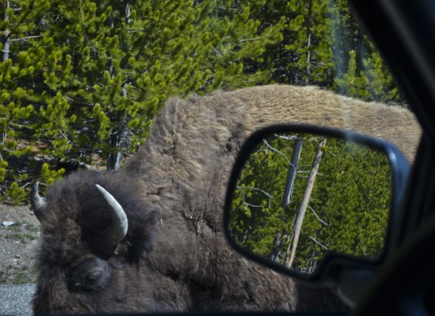 The first remarkable thing that one sees after entering Yellowstone may be herds of bison wandering freely, sometimes in the middle of the road and within inches of your vehicle.