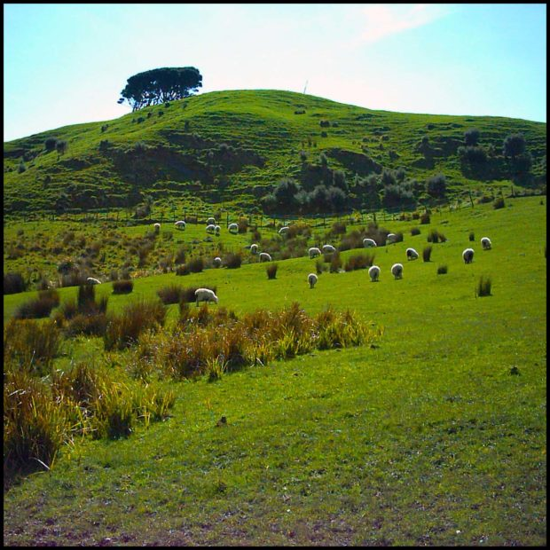 Sheep graze the rolling hills of the South Island of New Zealand.